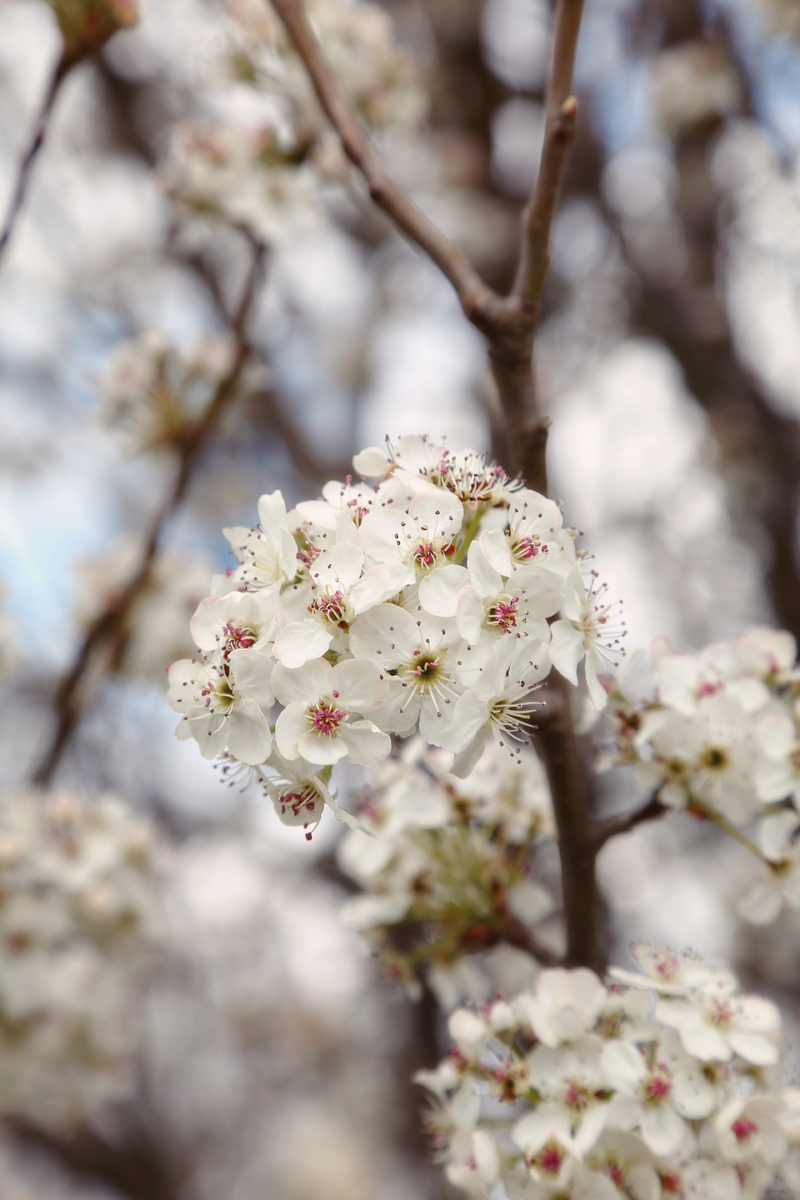 Spring Pear Tree : Flora : Magdalena Altnau Photography