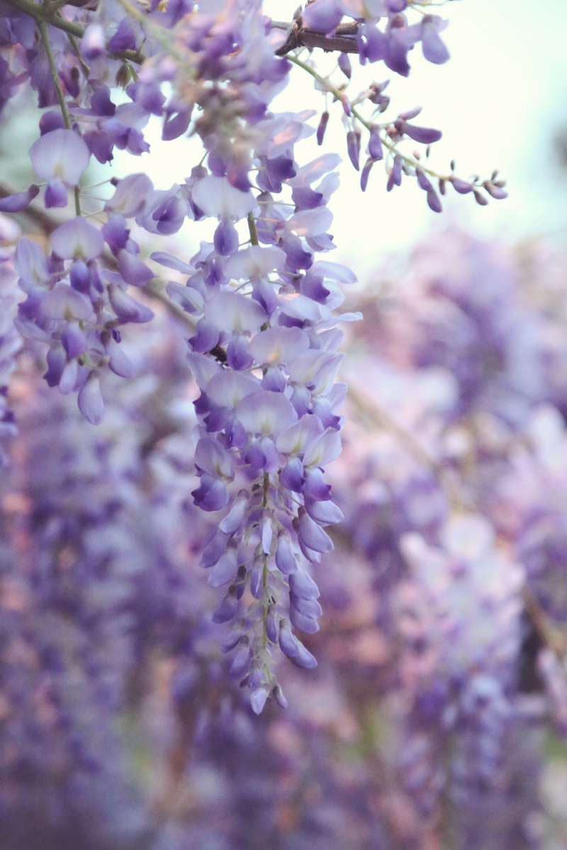 Wisteria I : NEW : Magdalena Altnau Photography